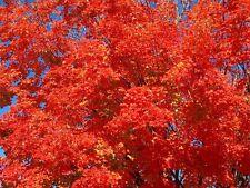 Red Maple Tree ( Acer rubrum) 2-3 ' $4.99