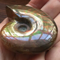 Iridescent Ammonite Ammolite Facet Rough Specimen Fossil