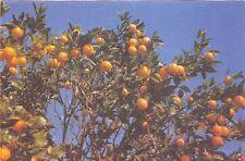 BR31003 Orangers Orange arbres tree