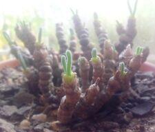 Monilaria moniliformis Seeds - String of Pearls - Rare Exotic Succulent