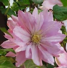 Clematis Violet Elizabeth double mauve-pink flowers 1 litre pot