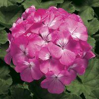 15 Geranium Seeds Pinto Pink