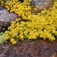 Sedum- Acre-  50 Seeds- BOGO 50% off SALE