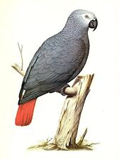 """1977 VINTAGE LAROUSSE """"AFRICAN GREY PARROT"""" STUNNING! COLOR Art Print Lithograph"""