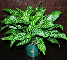 """New~Aglaonema 'Mary Ann' 8"""" Chinese Evergreen Easy Tropical Houseplant Gorgeous"""