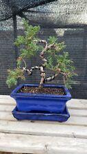 New listing Shohin/mame Japanese juniper (Juniperus Procumbens 'nana') pre-bonsai tree.