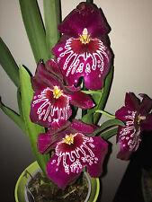 Miltonia Orchid PLANT, Parfumée Rose Foncé