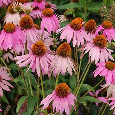 Hierba Semillas-la equinácea angustifolia - 40 Semillas