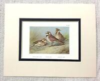1929 Antico Uccello Stampa Crested Lark Spiaggia Corto Punta Archibald Thorburn