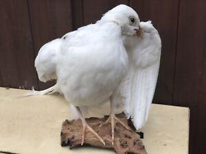 TAXIDERMY  Of  White PheasantCOUNTRYSIDE HUNTING