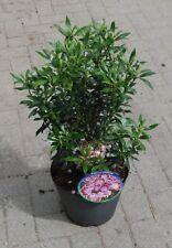 Kalmia latifolia Minuet, Berglorbeer, Blüte weiß-hellrosa ca.Mai-Juni, immergrün