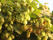 Hops Dried Herb - Humulus lupulus - Flowers Strobiles - Wild Harvested 50g