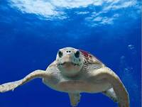 NATURE ANIMAL TURTLE LOGGERHEAD SEA REPTILE POSTER ART PRINT PICTURE BB1299B