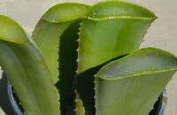 ALOE VERA Aloe Barbadensis Fresh Organic Leaves Medicinal Uses 3+ Ounces