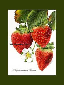 Still Life Strawberry Study a Print from an original by I Garmashova