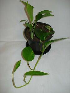 Devils Ivy Golden Pothos Epipremnum Aureum trailing climbing plant 35cm