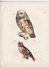 1844 ARCADIAN & LONG-EARED OWL VINTAGE PRINT DE KAY BIRDS LITHOGRAPH PL 11