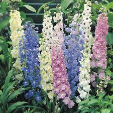 Larkspur Perennial Flowers & Plants