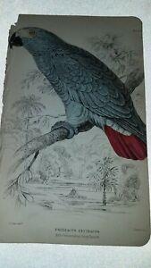 W. H LIZARS. PARROTS - RARE.  ANTIQUE PRINT. 1836. GREY PARROT