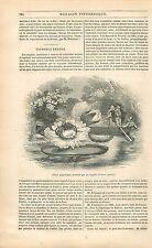 Nénuphar géant Victoria amazonica/Regina Fleur Brésil GRAVURE ANTIQUE PRINT 1838