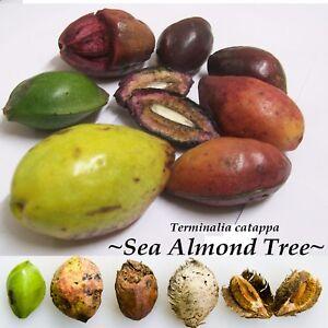 ~SEA ALMOND~ Tree CAY BANG Tropical Terminalia Catappa Live 5 SEEDS for planting