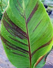 5 Graines de Bananier de l'Himalaya , Musa Sikkimensis Red Tiger Banana seeds