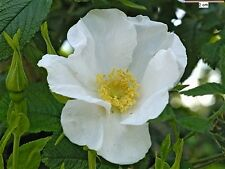 ROSA RUGOSA  White  alba 50+ seeds Z 2-9 SHIPPING FREE