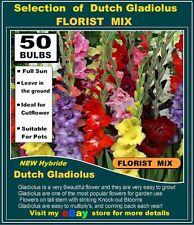 Gladiolus flower Bulbs- Gladioli Florist Mix- 50 x Bulbs