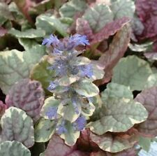 BURGUNDY GLOW AJUGA reptans variegated groundcover plant in 140mm pot