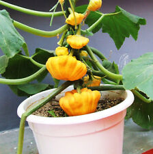 8 Rare Mini Golden Pumpkin Seeds Cushaw Cucurbita Organic Vegetables