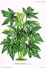 "Linden's L'Illustration - ""BEGONIA DIADEMA"" - Chromolithograph - 1874"