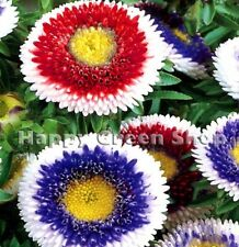 ASTER POMPON - HI NO MARU MIXED - 100 seeds - Callistephus - Annual flower