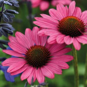Echinacea Hardy Perennial Flowering Bushy Garden Plant 'Magnus' 9cm Pot T&M