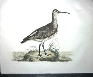 Gigantic signed Engraving,J.P.Selby,Whimbrel,handcol.engr.ca.1826