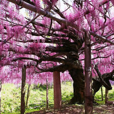 10PCS Purple Floribunda Wisteria Vine Seeds Chinese Flower Home Garden Decor
