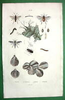 LAMP SHELLS Saw Flies & Beetles !! Natural History H/C Color Print Engraving