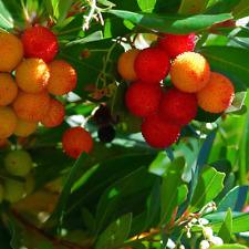 Arbutus Unedo - Evergreen Strawberry Tree