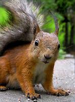 Spieglein: Eichhörnchen trinkt Ècureuil Ansichtskarte: Spieglein squirrel