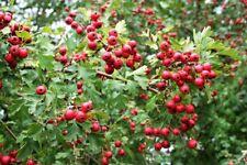 5 HAWTHORN TREE CUTTINGS