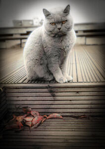 Beautiful Grumpy Whiskers British Shorthair Blue Cat Wall Art Print Picture