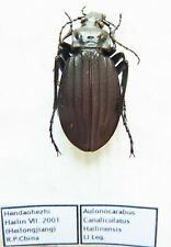 Carabus aulonocarabus canaliculatus hailinensis (female A1) from CHINA