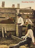 Postcard, Branding Cattle, Cows, Western Canada, Vintage P21