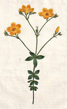 1799 vintage FOUR-LEAF FLAX original hand painted engraving botanical print