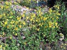 Graines Mimulus luteus plante bassin