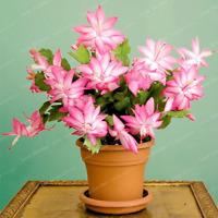 Zygocactus Truncatus Schlumbergera Bonsai Potted Plants 100 PCS Seeds NEW 2018 R