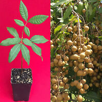 Longan Dimocarpus Dragon Eye Seedling Plant Tropical Fruit Tree