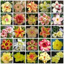 "ADENIUM OBESUM "" DOUBLE & TRIPLE FLOWERS "" MIXED / ASSORTED 100 seeds  SET 3"