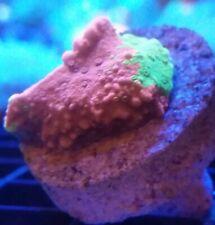 Live Coral Frag Robbie's Corals Grafted Montipora Cap Frag Sps