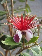 . Die Blüte der Ananas-Guave ist von exotischer Schönheit - eine Augenweide.