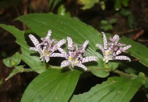 Tricyrtis hirta Japanese Toad Lily 100 seeds